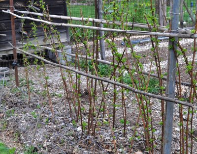 Red raspberry bed, pruned