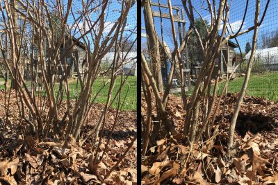 Blueberry before & after pruning