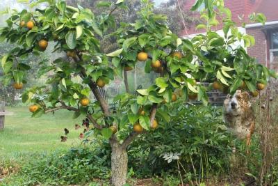 Espalier Asian pear