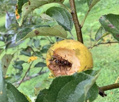 Apple being damaged by European hornet