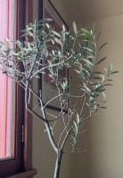 My potted olive tree