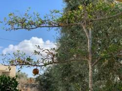 Pomegranate espalier, Israel