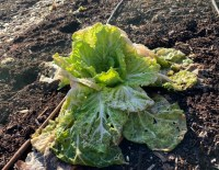 Michili chinese cabbage