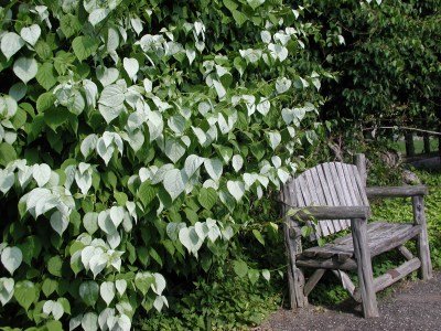 Actinidia and bench