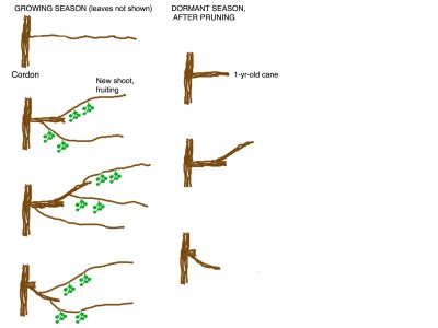 Actinidia pruning diagram