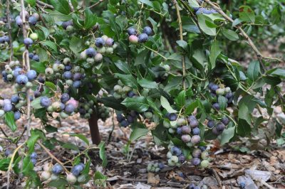 BLUEBERRY FRUITING BRANCH
