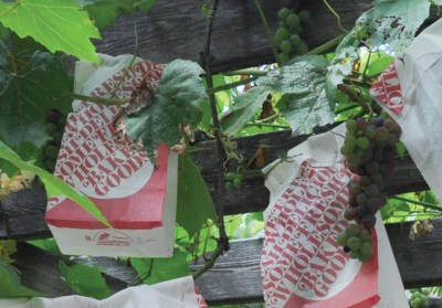 Paper bagged grapes