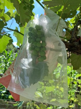 Organza bagged grapes