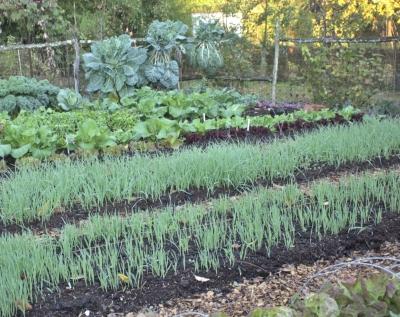 Oat cover crop in October