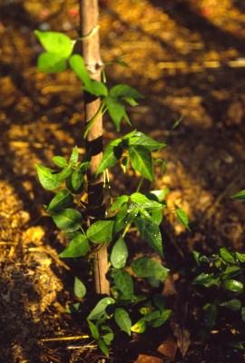 Groundut vine