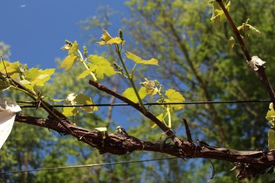 Fruiting grape shoots emerge from 1-yr-old stem