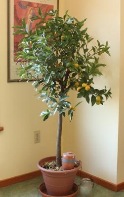Kumquat houseplant
