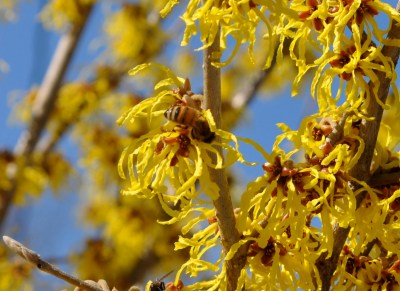 Honeybee on witchhazel
