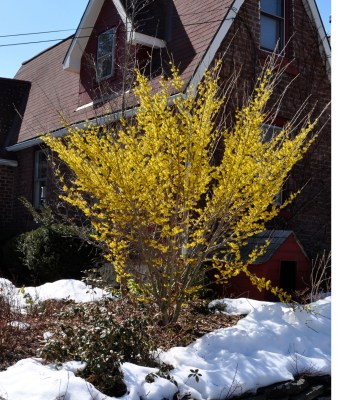 Witchhazel in full bloom in past years