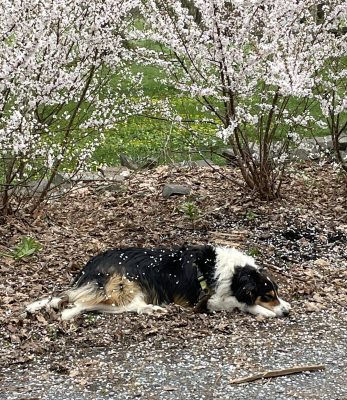 Daisy showered with petals (more on this later)