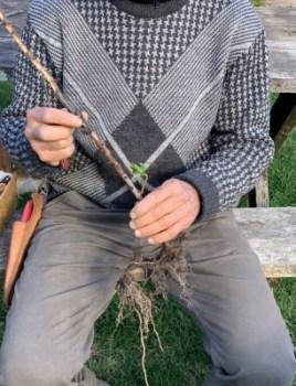 Damaged rootstock
