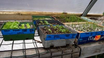 Seedlings in spring, greenhouse
