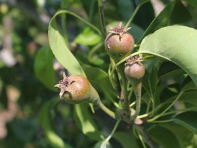 Pear fruitlets