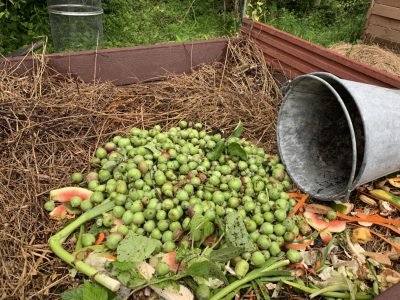 Apple and pear fruitlets on compost pile