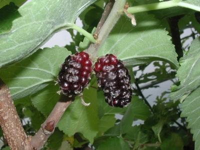 Black mulberry, M. nigra