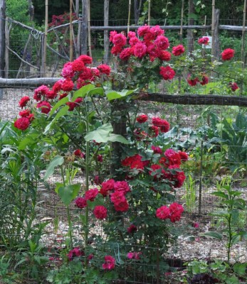 LD Braithewaite rose