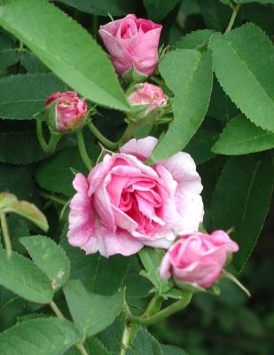 Rose d'Ipsahan