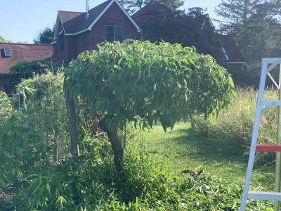 Peach tree, hedged
