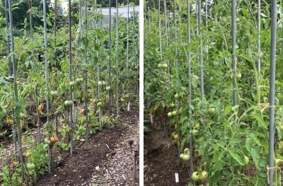 Weakly & vigorous tomato beds