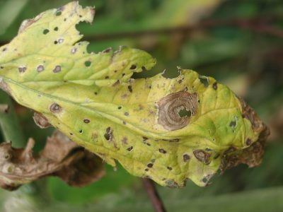 Early blight