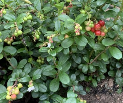 Lingonberry fruit and flowers