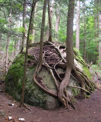 Tree on Adirondack rock