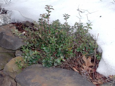 Lingonberry with snow