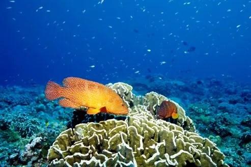 15% des truites de la Grande Barrière de corail, dans le Pacifique, présentent des lésions cutanées.