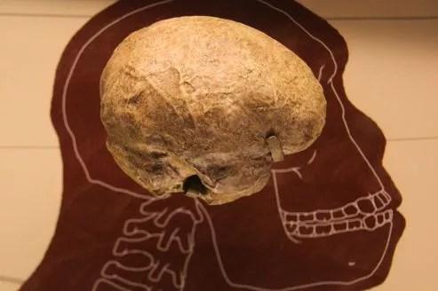 Un moulage du cerveau d'<i>Homo rudolfensis </i>présenté dans un musée à Washington DC. (crédits photo: Tim Evanson)