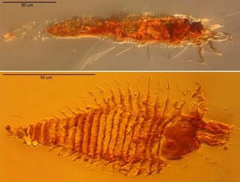 Un arthropode, prisonnier de la résine fossile depuis 230 millions d'années, donne des informations sur les anciens milieux forestiers et sur la grande faculté d'adaptation des insectes.