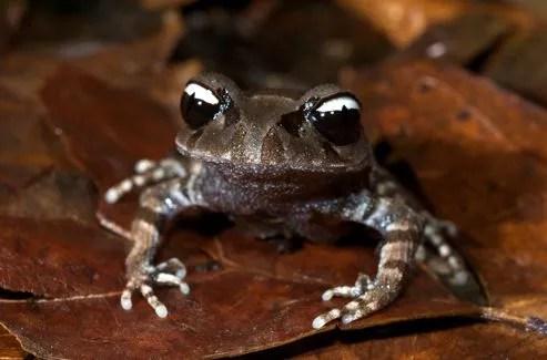 Leptobrachium leucops ,une grenouille aux étranges yeux noir et blanc a été découverte au Vitenam.