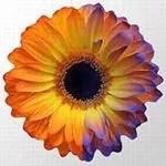 Visualisation (à droite) du champ électriques sur les pétales d'une fleur grâce à de la peinture chargée.