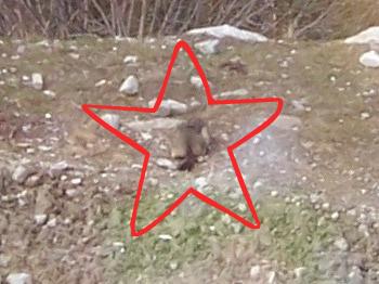 Chamonix marmot