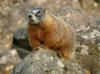 Google marmot