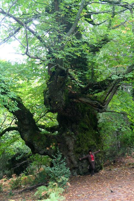Corsican chestnut tree