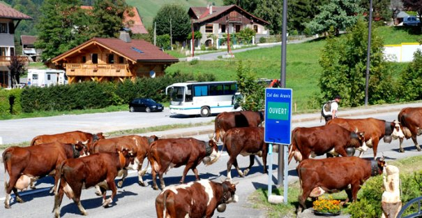 Cows marching through St Jean de Sixt in the Aravis region, France