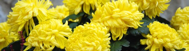 <Yellow chrysanthemum flowers in St Jean de Sixt >