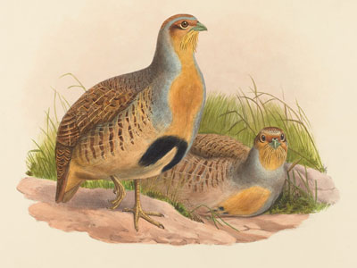 <Photo of partridge bird (perdrix in French)>
