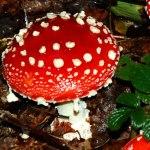 Red fairytail mushroom