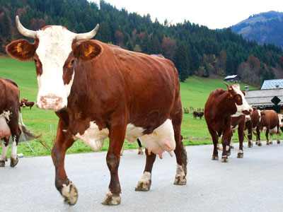 <Photo of cows on the road in La Clusaz. Copyright Le Franco Phoney>