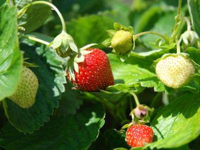 <Photo of spring strawberries in August in France'>
