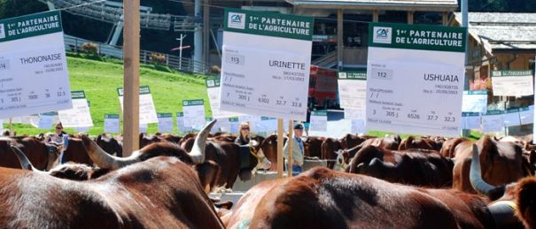 <Photo of a cow called Urinette in La Clusaz'>