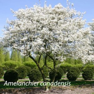 01_Amelanchier_canadensis
