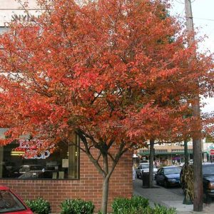 01_Amelanchier_canadensis_fall