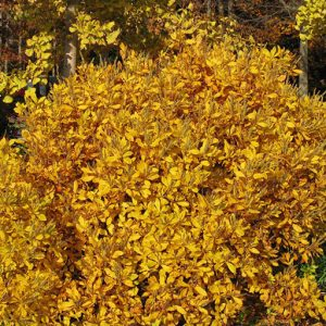 04_Clethra_alnifolia_fall